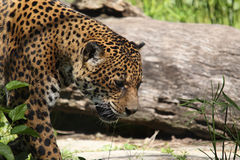 South American Jaguar Royalty Free Stock Image
