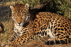 South american Jaguar relaxing Royalty Free Stock Photos