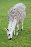South american lama in a farm Royalty Free Stock Photo