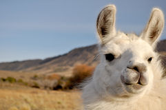 South American Llama. View of a white Llama in Neuquen, Patagonia, Argentina at National Park Lanin stock photos