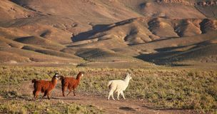 South American Llamas Royalty Free Stock Image