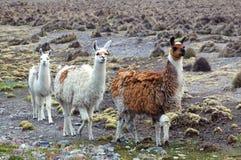 South American Llamas Royalty Free Stock Photography