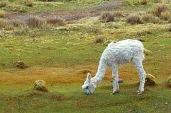 South American Llamas Stock Image