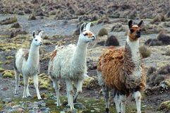 South American Llamas Royalty Free Stock Photo