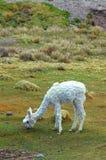 South American Llamas stock photo