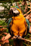 South American Macaw portrait. Stock Photo