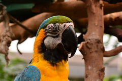South American Macaw portrait. Royalty Free Stock Photo