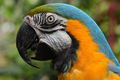 South American Macaw portrait Stock Photo