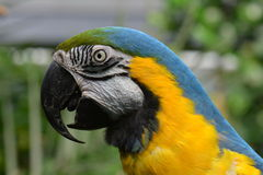 South American Macaw portrait Stock Photography