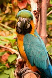 South American Macaw portrait Royalty Free Stock Photography