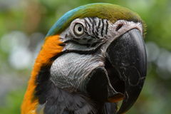 South American Macaw portrait Royalty Free Stock Photo