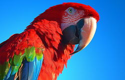 South American macaw Royalty Free Stock Photo
