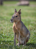 South American Mara Royalty Free Stock Photo