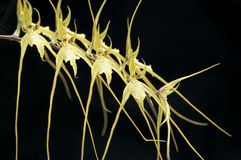 South American orchid (Brassia chloroleuca). Stock Image