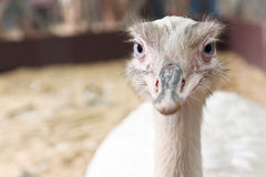South American ostrich Royalty Free Stock Photo