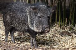 South american peccary Royalty Free Stock Photo