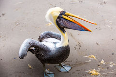 South American Pelican on Ballestas Islands in Peru,Paracas National park. Stock Photos