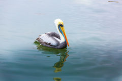 South American Pelican on Ballestas Islands in Peru,Paracas National park,at lake. Royalty Free Stock Photo