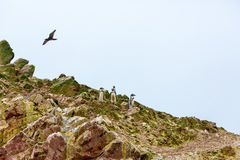 South American penguins coast at Paracas National Reservation, Peru Royalty Free Stock Image