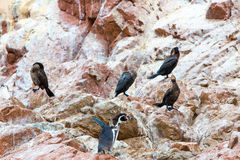South American penguins coast at Paracas National Reservation, Peru Royalty Free Stock Photos