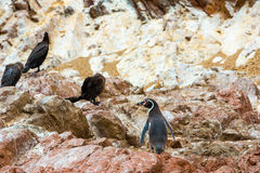 South American penguins coast at Paracas National Reservation, Peru Stock Image