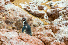 South American penguins coast at Paracas National Reservation, Peru Royalty Free Stock Photo