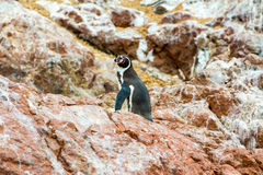 South American penguins coast at Paracas National Reservation, Peru, Ballestas Stock Image