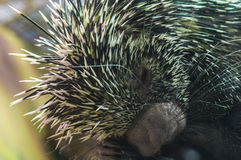South American porcupine Stock Photography