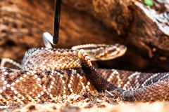 South American Rattlesnake Being Picked Up With Hook Stock Photography