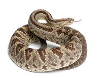 South American rattlesnake - Crotalus durissus Stock Photos