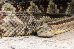 South American rattlesnake (Crotalus durissus) Royalty Free Stock Image