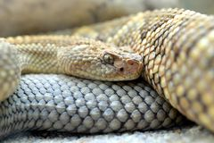 South American rattlesnake Crotalus durissus unicolor close up. Stock Images