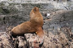 South American Sea Lion. (Otaria flavescens Stock Photography