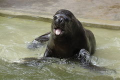 South American sea lion Royalty Free Stock Photography