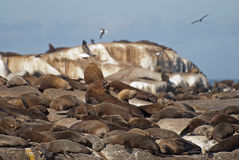 South American sea lion Stock Photography