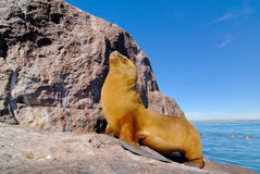 South American Sea Lion. (Otaria flavescens Royalty Free Stock Image