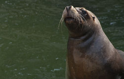 South American Sea lion. Big and fat South American Sea lion gape in the sun Stock Photography