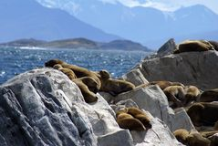South American sea lion colony near Ushuaia, Argentina. South American sea lion - Otaria flavescens - colony on a rock islet in the Beagle Channel near Ushuaia Stock Photo