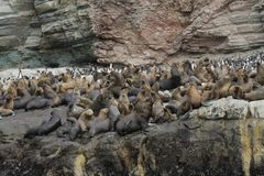 South american sea lion colony royalty free stock images
