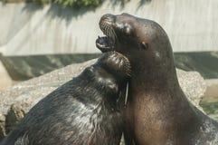South American sea lion Royalty Free Stock Photos
