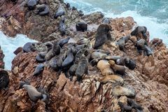 South American sea lion Otaria byronia. Colony South American sea lion Otaria byronia the Ballestas Islands - Peru Stock Photos