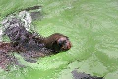 South American sea lion Stock Photos
