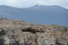 South American sea lion, Otaria flavescens, breeding colony and haulout on small islets just outside Ushuaia. Stock Photo