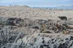 South American sea lion, Otaria flavescens, breeding colony and haulout on small islets just outside Ushuaia. Royalty Free Stock Photography