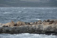 South American sea lion, Otaria flavescens, breeding colony and haulout on small islets just outside Ushuaia. Royalty Free Stock Photo