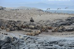 South American sea lion, Otaria flavescens, breeding colony and haulout on small islets just outside Ushuaia. stock images