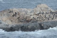South American sea lion, Otaria flavescens, breeding colony and haulout on small islets just outside Ushuaia. Royalty Free Stock Image