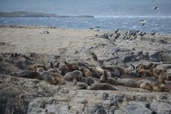 South American sea lion, Otaria flavescens, breeding colony and haulout on small islets just outside Ushuaia. BEAGLE CHANNEL, ARGENTINA - NOVEMBER 16,2014:South royalty free stock photos