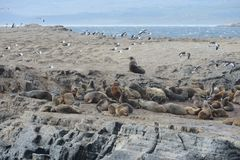 South American sea lion, Otaria flavescens, breeding colony and haulout on small islets just outside Ushuaia. Stock Image