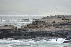 South American sea lion, Otaria flavescens, breeding colony and haulout on small islets just outside Ushuaia. Stock Photos